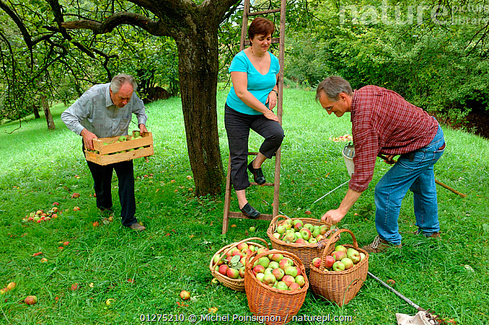 People picking Rambour Apples {Malus domestica} in orchard, Lorraine, France, 2006  ,  apples, CROPS, EUROPE, FRANCE, FRUIT, GROUPS, HARVESTING, MAN, orchards, PEOPLE, picking, PLANTS, ROSACEAE, THREE, TREES, WOMAN  ,  Michel Poinsignon