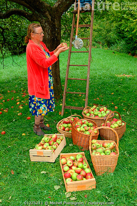 Woman picking Rambour Apples {Malus domestica} in orchard, Lorraine, France, 2006  ,  apples, AUTUMN, CROPS, EUROPE, FRANCE, FRUIT, HARVESTING, ladder, orchards, PEOPLE, picking, PLANTS, ROSACEAE, TREES, VERTICAL, WOMAN  ,  Michel Poinsignon