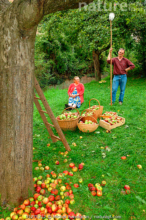 Man and woman with baskets of harvested Rambour Apples {Malus domestica} in orchard, Lorraine, France, 2006  ,  apples, AUTUMN, CROPS, EUROPE, FRANCE, FRUIT, HARVESTING, MAN, orchards, PEOPLE, picking, PLANTS, ROSACEAE, TREES, VERTICAL, WOMAN  ,  Michel Poinsignon