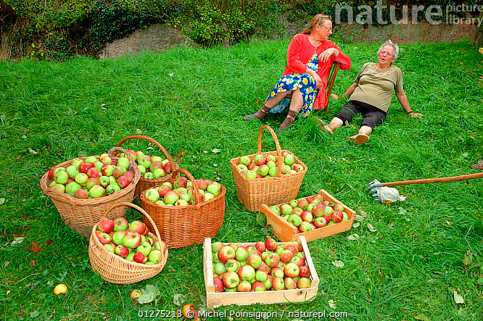 Women with baskets of harvested Rambour Apples {Malus domestica} in orchard, Lorraine, France, 2006  ,  apples, CROPS, EUROPE, FRANCE, FRUIT, HARVESTING, orchards, PEOPLE, PLANTS, ROSACEAE, TREES, WOMAN  ,  Michel Poinsignon
