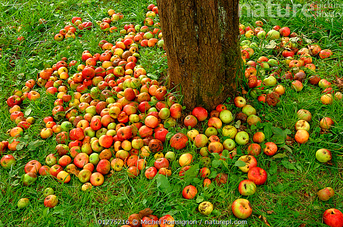 Rambour Apples {Malus domestica} lying at the foot of a tree at harvest time in orchard, Lorraine, France, 2006  ,  apples, CROPS, EUROPE, FRANCE, FRUIT, HARVESTING, orchards, PLANTS, ROSACEAE, TREES  ,  Michel Poinsignon