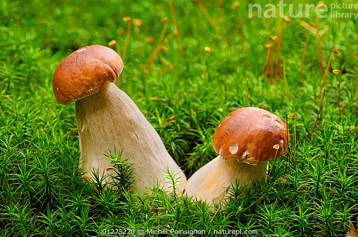 Cep fungi {Boletus edulis} growing through moss, Lorraine, France  ,  BOLETACEAE,BOLETE,EDIBLE,FRANCE,FUNGI,FUNGUS,TOADSTOOLS,TWO,Europe,  ,  Michel Poinsignon