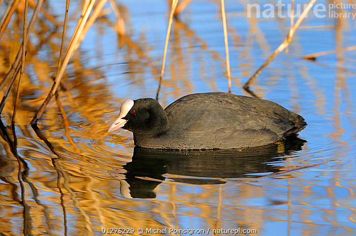 Coot {Fulica atra} on water, Lorraine, France  ,  BIRDS,COOTS,EUROPE,FRANCE,VERTEBRATES,WATERFOWL  ,  Michel Poinsignon