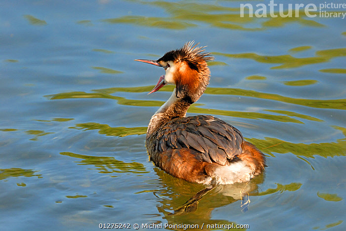 Great crested grebe {Podiceps cristatus} yawning, on water, Lorraine, France  ,  BIRDS,EUROPE,FRANCE,GREBES,VERTEBRATES,WATER,WATERFOWL  ,  Michel Poinsignon