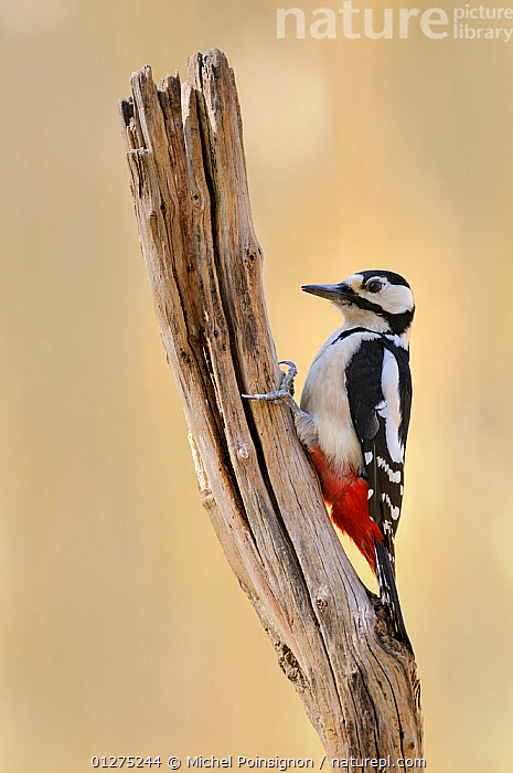 Great spotted woodpecker {Dendrocopos major} male perched on stump, Lorraine, France  ,  BIRDS,FRANCE,MALES,VERTEBRATES,VERTICAL,WOODPECKERS,Europe  ,  Michel Poinsignon