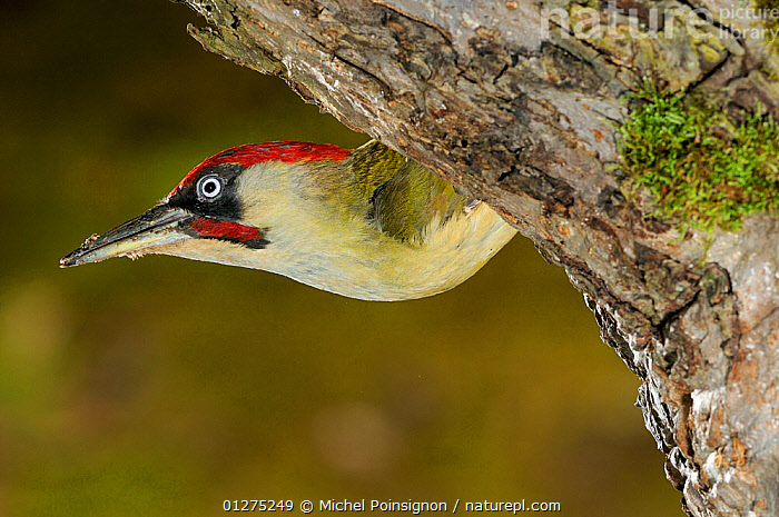 Green woodpecker {Picus viridis} male emerging from nest hole, Lorraine, France  ,  BIRDS,EUROPE,FRANCE,MALES,NESTS,VERTEBRATES,WOODPECKERS  ,  Michel Poinsignon
