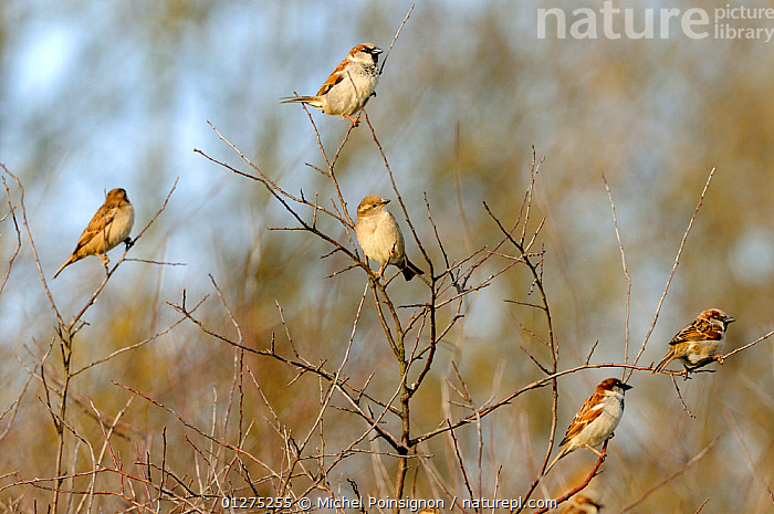 Common / House sparrows {Passer domesticus} perched in tree, Lorraine, France, winter  ,  BIRDS,EUROPE,FIVE,FRANCE,GROUPS,HOUSE SPARROW,SPARROWS,VERTEBRATES  ,  Michel Poinsignon