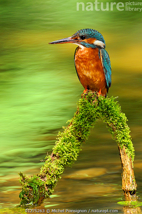 Common kingfisher {Alcedo atthis} perched on branch over water, Lorraine, France  ,  BIRDS,COLOURFUL,EUROPE,FRANCE,GREEN,KINGFISHERS,RIVERS,VERTEBRATES,VERTICAL,WATER  ,  Michel Poinsignon