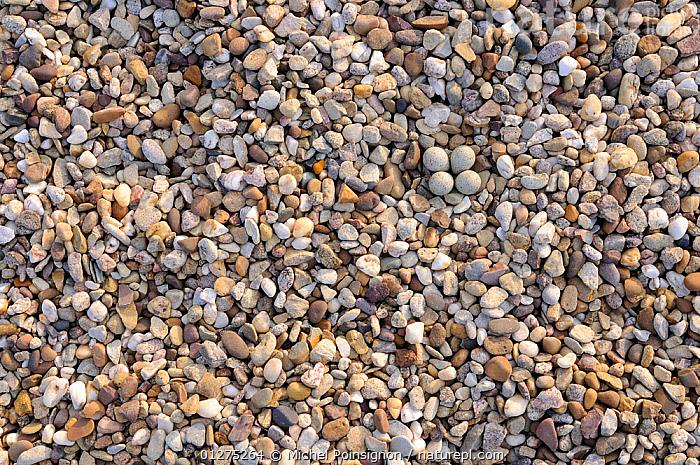 Little ringed plover {Charadrius dubius} nest with four eggs camouflaged on shingle, Lorraine, France  ,  BEACHES,BIRDS,CAMOUFLAGE,COASTS,EGGS,EUROPE,FRANCE,NESTS,PLOVERS,STONES,VERTEBRATES,WADERS  ,  Michel Poinsignon