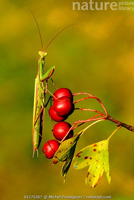 European praying mantis {Mantis religiosa} on hawthorn berries, Lorraine, France  ,  ARTHROPODS,BERRIES,EUROPE,FRANCE,HUMOROUS,INSECTS,INVERTEBRATES,MANTIDS,MANTODEA,PORTRAITS,RED,VERTICAL,Concepts  ,  Michel Poinsignon