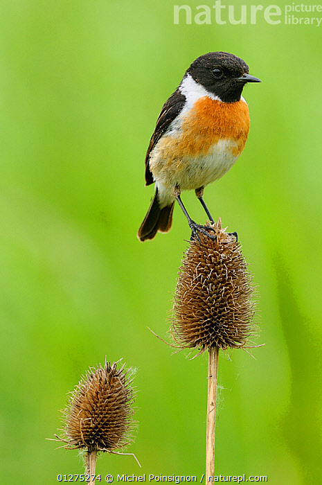 Stonechat {Saxicola torquata} male perched on teasel, Lorraine, France  ,  BIRDS,CHATS,EUROPE,FRANCE,MALES,PORTRAITS,SAXICOLA RUBICOLA,VERTEBRATES,VERTICAL  ,  Michel Poinsignon