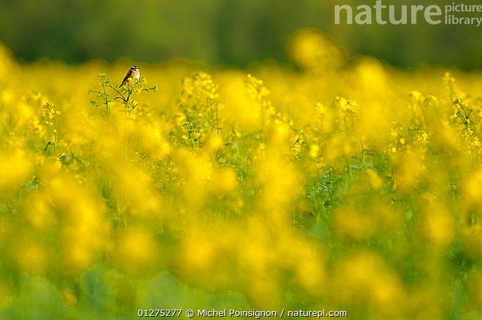 Whinchat {Saxicola rubetra} male perched in field of oil seed rape, Lorraine, France  ,  ARTY SHOTS,BIRDS,CHATS,CROPS,EUROPE,FLOWERS,FRANCE,MALES,VERTEBRATES,YELLOW  ,  Michel Poinsignon