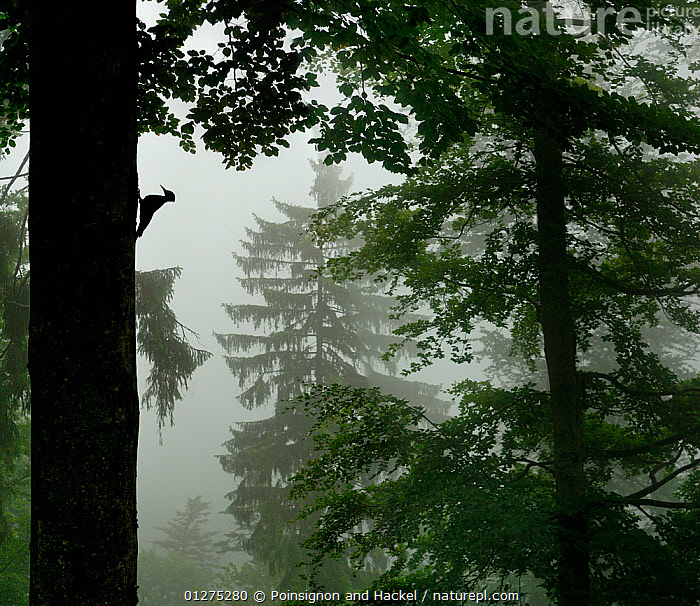 Silhouette of Black woodpecker {Dryocopus martius}at nest hole in tree trunk in mist / rain, ancient forest, Vosges mountains, Lorraine, France  ,  BIRDS,EUROPE,FRANCE,MIST,SILHOUETTES,TREES,VERTEBRATES,VERTICAL,WOODLANDS,WOODPECKERS,PLANTS  ,  Poinsignon and Hackel