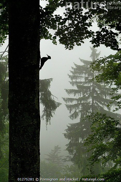 Sillhouette of Black woodpecker {Dryocopus martius} at nest hole in tree trunk in mist / rain, ancient forest, Vosges mountains, Lorraine, France  ,  BIRDS,EUROPE,FRANCE,MIST,RAINING,SILHOUETTES,TREES,VERTEBRATES,VERTICAL,WOODLANDS,WOODPECKERS,PLANTS  ,  Poinsignon and Hackel
