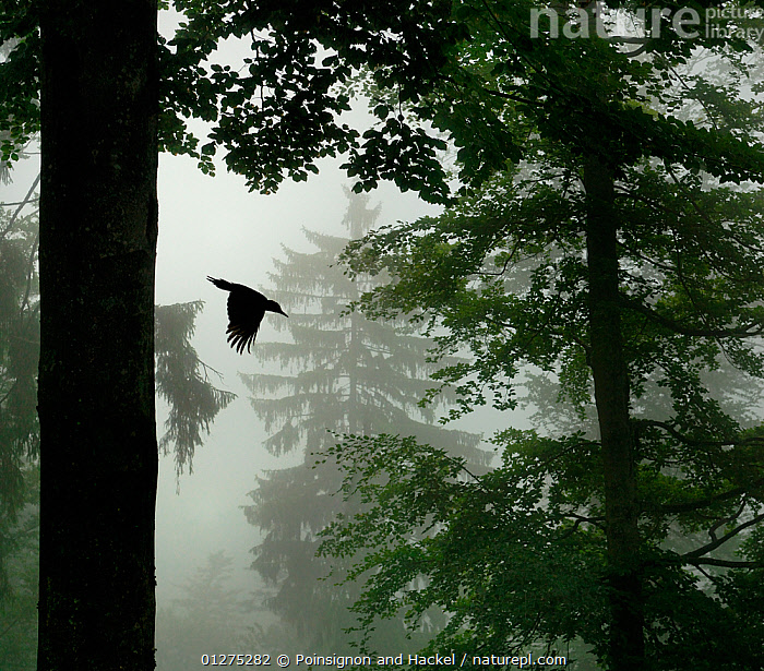 Sillhouette of Black woodpecker {Dryocopus martius} flying from nest hole in tree trunk in mist / rain, ancient forest, Vosges mountains, Lorraine, France. Overall winner and winner of the Birds category in the Melvita Nature Images Awards competition, 2013  ,  animals in the wild,bad weather,BIRDS,CATALOGUE2,EUROPE,FLYING,forest,FORESTRY,FORESTS,FRANCE,Lorrain,MIST,mysterious,mystery,nest hole,Nobody,one animal,outdoors,RAINING,Silhouette,SILHOUETTES,tree trunk,TREES,VERTEBRATES,VERTICAL,Vosges mountains,WILDLIFE,woodland,WOODLANDS,WOODPECKERS,Weather,PLANTS  ,  Poinsignon and Hackel