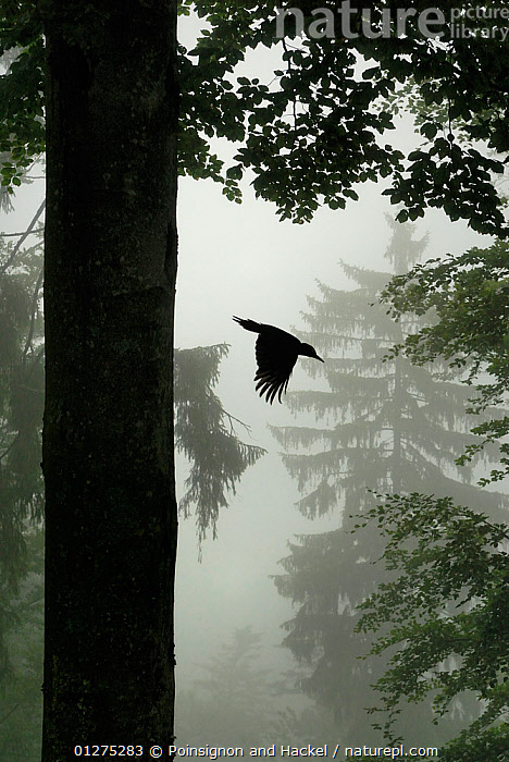 Sillhouette of Black woodpecker {Dryocopus martius} flying from nest hole in tree trunk in mist / rain, ancient forest, Vosges mountains, Lorraine, France  ,  BIRDS,EUROPE,FLYING,FRANCE,MIST,RAINING,SILHOUETTES,TREES,VERTEBRATES,VERTICAL,WOODLANDS,WOODPECKERS,PLANTS  ,  Poinsignon and Hackel