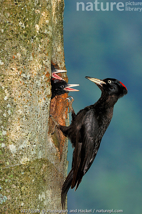 Black woodpecker {Dryocopus martius} male at nest hole feeding chicks, Vosges mountains, Lorraine, France  ,  BIRDS,CHICKS,EUROPE,FAMILIES,FRANCE,MALES,NESTS,VERTEBRATES,VERTICAL,WOODPECKERS  ,  Poinsignon and Hackel