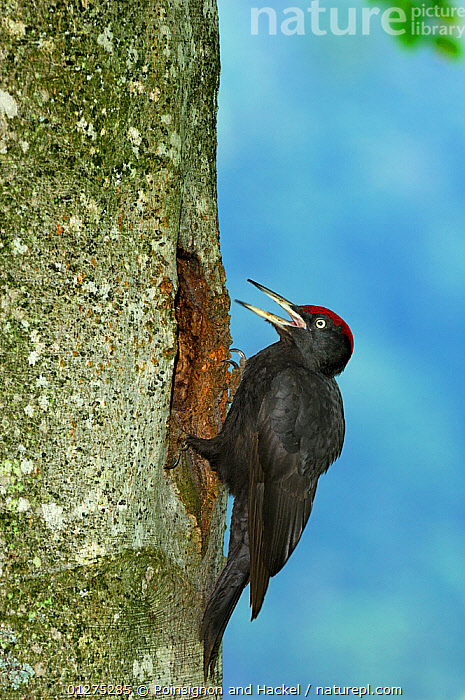 Black woodpecker {Dryocopus martius} male at nest hole, Vosges mountains, Lorraine, France  ,  BIRDS,EUROPE,FRANCE,MALES,NESTS,TREES,TRUNKS,VERTEBRATES,WOODPECKERS,PLANTS  ,  Poinsignon and Hackel