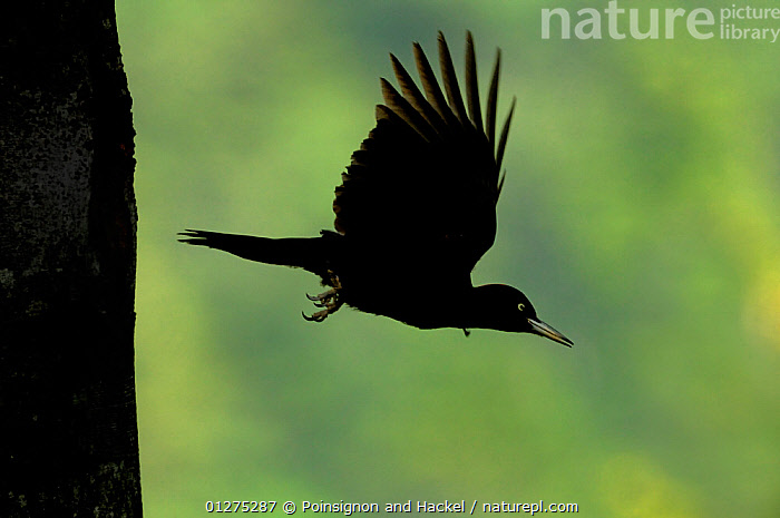 Silhouette of Black woodpecker {Dryocopus martius} flying from nest hole in tree trunk, Vosges mountains, Lorraine, France  ,  BEHAVIOUR,BIRDS,EUROPE,FLYING,FRANCE,SILHOUETTTES,VERTEBRATES,WOODPECKERS  ,  Poinsignon and Hackel