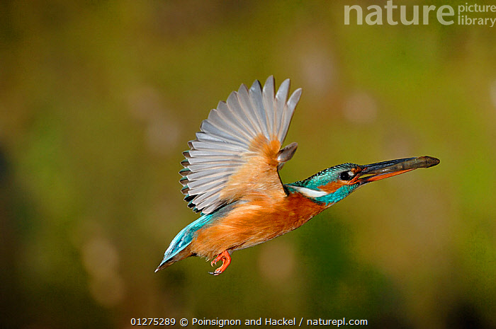 Common kingfisher {Alcedo atthis} female flying to nest with fish in beak, Lorraine, France  ,  BEHAVIOUR,BIRDS,CARRYING,EUROPE,FEEDING,FEMALES,FISH,FLYING,FRANCE,KINGFISHERS,VERTEBRATES  ,  Poinsignon and Hackel