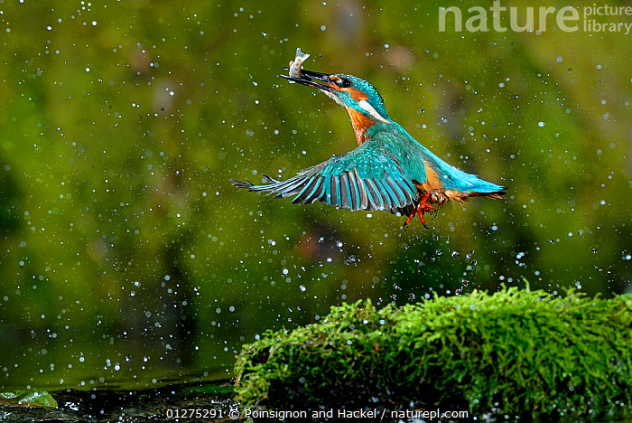 Common kingfisher {Alcedo atthis} coming up out of water with fish, Lorraine, France. Nominated in the Story of a Species category of the Melvita Nature Images Awards competition 2013., ACTION,animals in the wild,BEHAVIOUR,BIRDS,CATALOGUE2,EUROPE,FEEDING,FISH,FISHING,FLYING,food chain,FRANCE,HUNTING,KINGFISHERS,Lorraine,nature,Nobody,outdoors,RIVERS,SPRAY,two animals,VERTEBRATES,WATER,water spray,WILDLIFE,wings spread, Poinsignon and Hackel