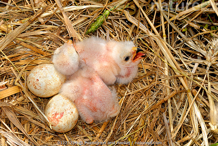 Montagu's harrier {Circus pygargus} chicks and eggs in nest, Lorraine, France  ,  BIRDS,BIRDS OF PREY,CHICKS,EGGS,EUROPE,FRANCE,HARRIERS,HIGH ANGLE SHOT,NESTS,TWO,VERTEBRATES  ,  Poinsignon and Hackel