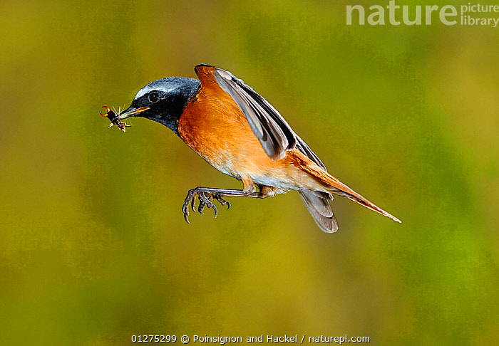 Redstart {Phoenicurus phoenicurus} male flying to nest carrying prey, Lorraine, France  ,  BEHAVIOUR,BIRDS,EUROPE,FLYING,FRANCE,INSECTS,MALES,REDSTARTS,VERTEBRATES,Invertebrates  ,  Poinsignon and Hackel