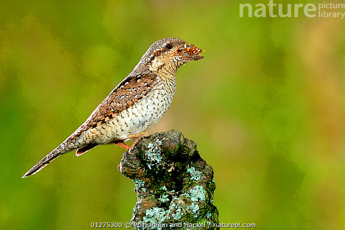 Wryneck {Jynx torquilla} perched on branch with beak full of ant eggs, Lorraine, France  ,  ANTS,BEHAVIOUR,BIRDS,CAMOUFLAGE,FRANCE,MIMICRY,PREDATION,VERTEBRATES,WRYNECKS,Europe,  ,  Poinsignon and Hackel