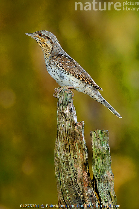 Wryneck {Jynx torquilla} perched on branch, mimicing wood, Lorraine, France  ,  BIRDS,CAMOUFLAGE,FRANCE,MIMICRY,PORTRAITS,PROFILE,VERTEBRATES,VERTICAL,WRYNECKS,Europe,  ,  Poinsignon and Hackel