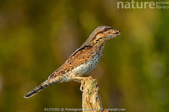 Wryneck {Jynx torquilla} perched on branch with beak full of ant eggs, mimicing wood, Lorraine, France  ,  ANTS,BEHAVIOUR,BIRDS,CAMOUFLAGE,FRANCE,INSECTS,MIMICRY,PREDATION,VERTEBRATES,WRYNECKS,Europe,Invertebrates,  ,  Poinsignon and Hackel