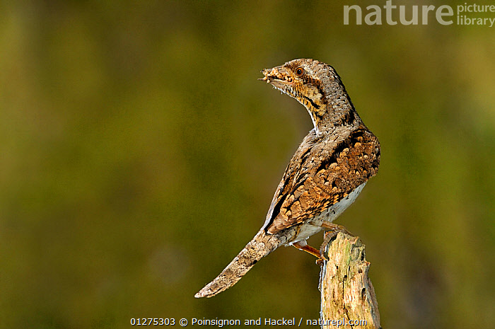 Wryneck {Jynx torquilla} perched on branch with beak full of ant eggs, Lorraine, France  ,  BIRDS,CAMOUFLAGE,FRANCE,INSECTS,VERTEBRATES,VERTICAL,WRYNECKS,Europe,Invertebrates,  ,  Poinsignon and Hackel