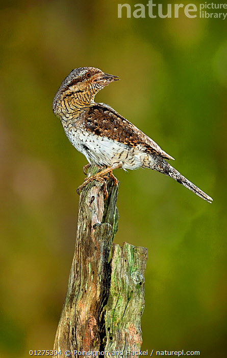 Wryneck {Jynx torquilla} perched on branch with beak full of ant eggs, Lorraine, France  ,  ANTS,BIRDS,CAMOUFLAGE,EUROPE,FRANCE,INSECTS,MIMICRY,VERTEBRATES,VERTICAL,WRYNECKS,Invertebrates  ,  Poinsignon and Hackel