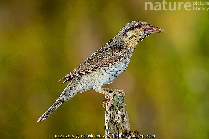 Wryneck {Jynx torquilla} perched on branch with prey in beak, camouflaged as wood, Lorraine, France  ,  BIRDS,CAMOUFLAGE,EUROPE,FRANCE,MIMICRY,PORTRAITS,PROFILE,VERTEBRATES,WRYNECKS  ,  Poinsignon and Hackel