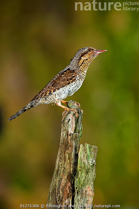 Wryneck {Jynx torquilla} perched on branch with prey in beak, camouflaged as wood, Lorraine, France  ,  BIRDS,CAMOUFLAGE,EUROPE,FRANCE,MIMICRY,PORTRAITS,PROFILE,VERTEBRATES,VERTICAL,WRYNECKS  ,  Poinsignon and Hackel