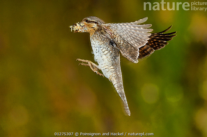 Wryneck {Jynx torquilla} flying to nest hole with prey, Lorraine, France  ,  france,flying,flight,nests,behaviour,birds,vertebrates,wrynecks,Europe  ,  Poinsignon and Hackel
