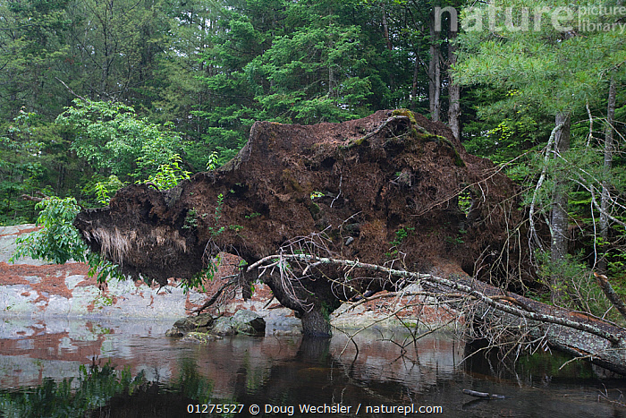 Exposed roots of fallen tree, Adirondack Park, Bog River, New York, USA  ,  NORTH AMERICA,RIVERS,ROOTS,STORMS,TREES,USA,WATER,WOODLANDS,Weather,PLANTS  ,  Doug Wechsler