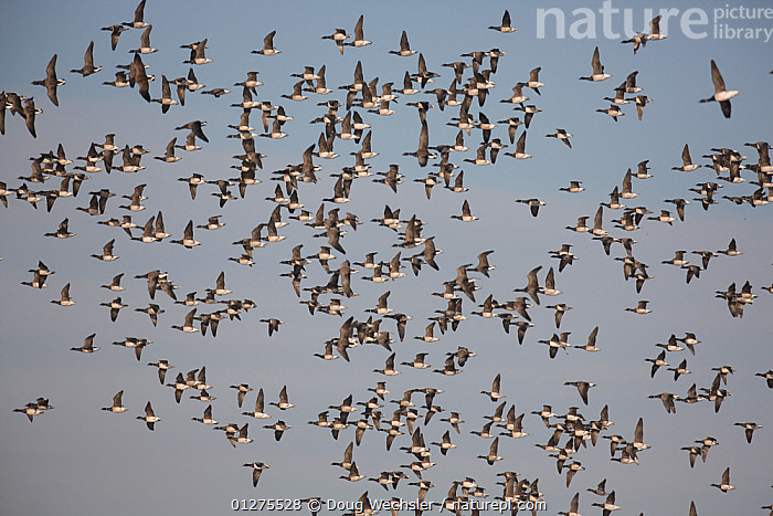 Flock of Brent geese (Branta bernicla) in flight, Edwin Forsythe NWR, New Jersey, USA  ,  BIRDS,FLOCKS,FLYING,GEESE,GOOSE,RESERVE,USA,VERTEBRATES,WATERFOWL,WILDLIFE,North America,Wildfowl  ,  Doug Wechsler