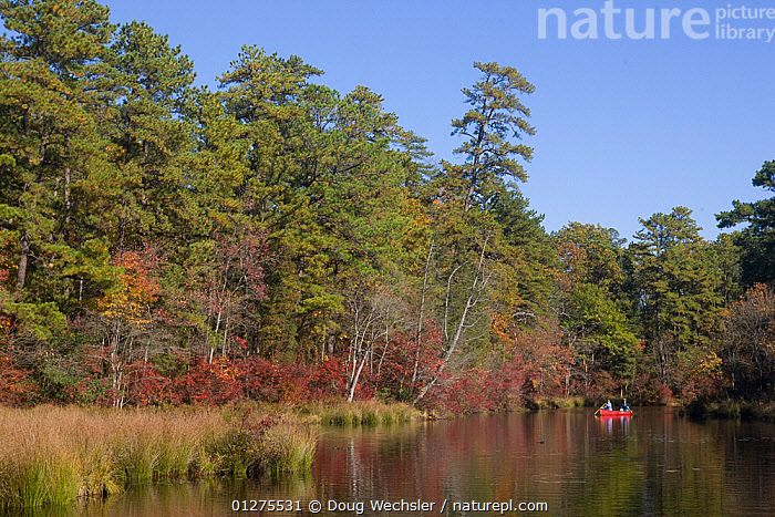 Canoeist on the Dead River, Pine Barrens, Great Egg Harbor River, New Jersey, USA  ,  AUTUMN,BOATS,CANOE,CANOEING,CREEK,FORESTS,LANDSCAPES,NORTH AMERICA,PINES,RIVERS,TREES,USA,WATER,WOODLANDS,PLANTS  ,  Doug Wechsler