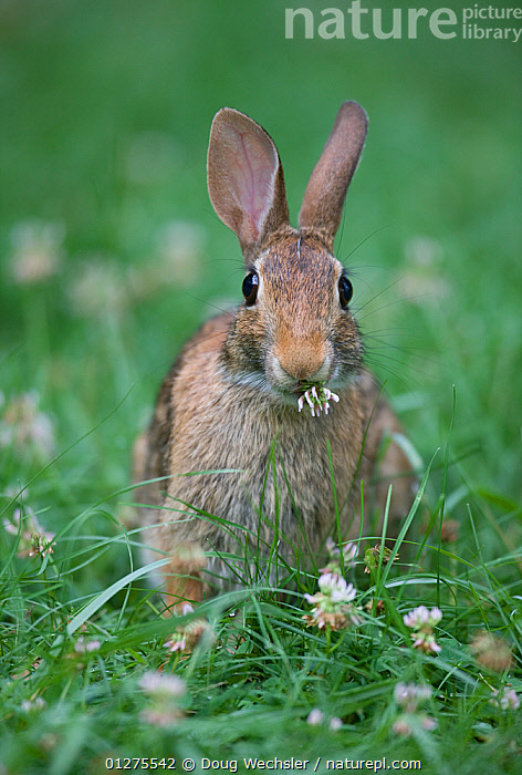 Eastern Cottontail Rabbit (Sylvilagus floridanus) eating clover, Philadelphia, Pennsylvania, USA  ,  BEHAVIOUR,CLOVER,CUTE,FEEDING,FORAGING,GRASS,LAGOMORPHS,MAMMALS,RABBIT,RABBITS,USA,VERTEBRATES,VERTICAL,WILDLIFE,Plants,North America  ,  Doug Wechsler