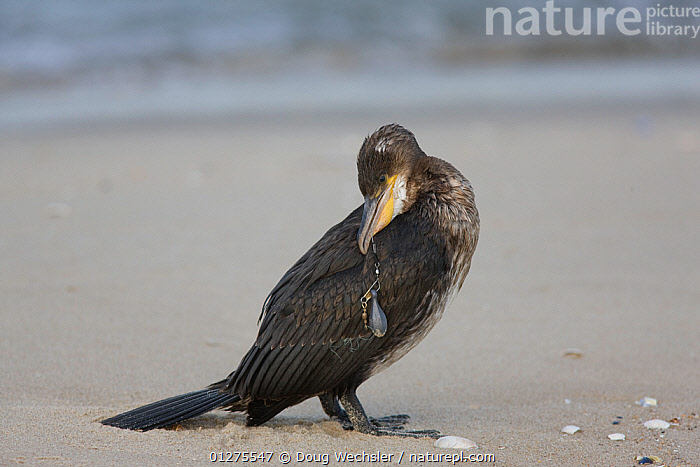 Great / Common Cormorant (Phalacrocorax carbo) with fish tackle stuck in throat, Gateway National Recreation Area, Sandy Hook, New Jersey, USA  ,  BEACHES,BIRDS,COASTS,CORMORANTS,ENVIRONMENTAL,FISH,FISHING,HOOK ,INJURED,INJURY,MARINE,POLLUTION,RESERVE,SAD,SEABIRDS,USA,VERTEBRATES,WOUNDED,Concepts,North America  ,  Doug Wechsler