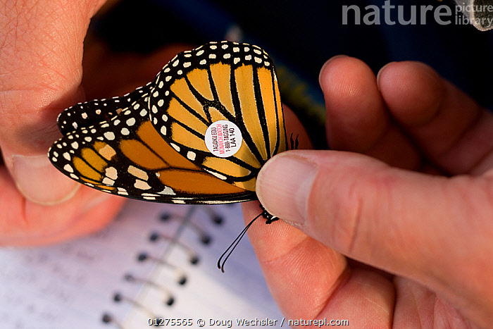 Tagging a Monarch Butterfly (Danaus plexippus) for research, New Jersey, Cape May, USA  ,  ARTHROPODS,BUTTERFLIES,CONSERVATION,HANDS,INSECTS,INVERTEBRATES,LEPIDOPTERA,RESEARCH,TAG,TAGGING,USA,North America  ,  Doug Wechsler