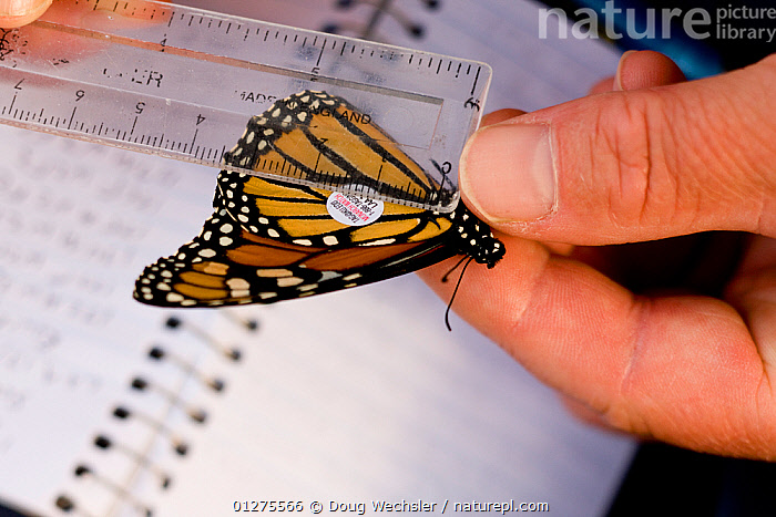Tagging and measuring a Monarch Butterfly (Danaus plexippus) for reseach, New Jersey, Cape May, USA  ,  ARTHROPODS,BUTTERFLIES,CONSERVATION,HANDS,INSECTS,INVERTEBRATES,LEPIDOPTERA,RESEARCH,TAG,TAGGING,USA,North America  ,  Doug Wechsler