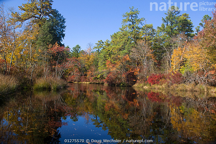 Autumn in pines on the Dead River, Pine Barrens, Great Egg Harbor River, New Jersey, USA  ,  WOODLANDS,AUTUMN,FORESTS,FRESHWATER,LANDSCAPES,NORTH AMERICA,PINES,REFLECTIONS,RIVERS,TREES,USA,WATER,PLANTS  ,  Doug Wechsler