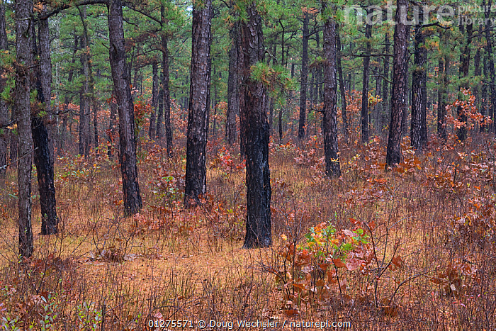 Pitch Pines (Pinus rigida) in Pine Barrens forest, New Jersey, USA  ,  AUTUMN,CONIFEROUS,CONIFERS,FORESTS,GYMNOSPERMS,LANDSCAPES,PINACEAE,PINES,PLANTS,TREES,USA,WOODLANDS,North America  ,  Doug Wechsler
