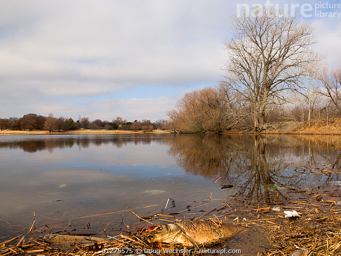 Dead fish beside lake, Lubbock, Clapp Park, Texas, USA, Once a seasonal wetland, this landscape has become a permanent lake  ,  DEATH,FISH,LAKES,LANDSCAPES,NORTH AMERICA,TEXAS,USA,WATER  ,  Doug Wechsler