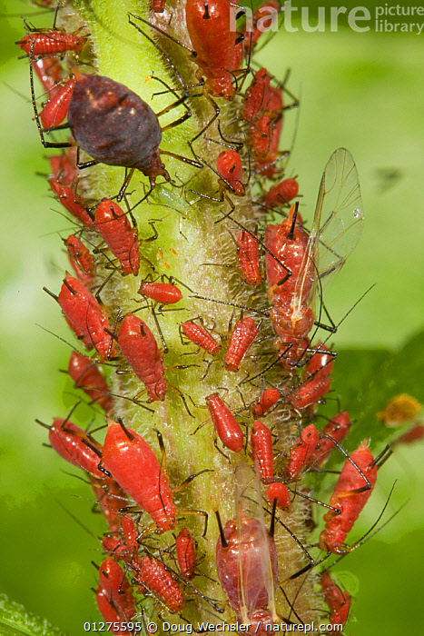 Aphid colony (Uroleucon sp) winged adults and larvae, feeding on Goldenrod (Solidago sp), Pennsylvania, USA  ,  APHIDS,BEHAVIOUR,BUGS,CLOSE UPS,FEEDING,GROUPS,HEMIPTERA,INSECTS,INVERTEBRATES,LARVAE,PESTS,RED,USA,VERTICAL,North America  ,  Doug Wechsler