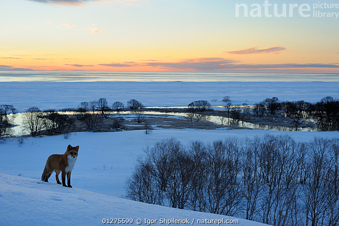 Red fox in the snow at dawn (Vulpes vulpes)Kronotsky Zapovednik, Kamchatka, Russia  ,  ATMOSPHERIC,CANIDS,CARNIVORES,DAWN,FOXES,KAMCHATKA,LANDSCAPES,MAMMALS,SNOW,VERTEBRATES,WATER,Dogs  ,  Igor Shpilenok