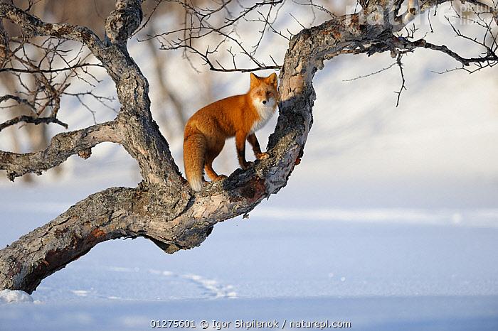 Red fox (Vulpes vulpes) climbing a tree in the snow Kronotsky Zapovednik, Kamchatka, Russia  ,  BEHAVIOUR,CANIDS,CARNIVORES,CLIMBING,CUTE,FOXES,KAMCHATKA,LANDSCAPES,MAMMALS,RUSSIA,SNOW,TREES,VERTEBRATES,PLANTS,Dogs  ,  Igor Shpilenok