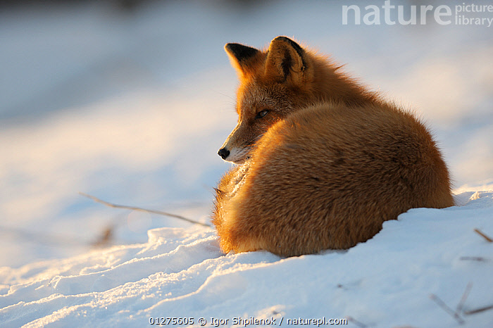 Red fox (Vulpes vulpes) curled up in the snow, Kronotsky Zapovednik, Kamchatka, Russia  ,  CANIDS,CARNIVORES,FOXES,KAMCHATKA,MAMMALS,RUSSIA,SITTING,SNOW,VERTEBRATES,WINTER,Dogs  ,  Igor Shpilenok