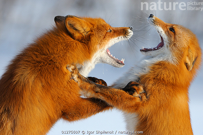 Close up of Two Red foxes (Vulpes vulpes) fighting in the snow, Kronotsky Zapovednik, Kamchatka, Russia  ,  AGGRESSION,animals in the wild,BEHAVIOUR,CANIDS,CARNIVORES,CATALOGUE2G,CLOSE UPS,Conflict,DEFENSIVE,DOMINANCE,face to face,fierce,FIGHTING,FOXES,Kamachatka,Kamchatka,Kronotskty Zapovednik,MAMMALS,MOUTHS,Nobody,outdoors,play,RUSSIA,snarling,SNOW,two animals,VERTEBRATES,violence,WILDLIFE,Communication,Dogs  ,  Igor Shpilenok